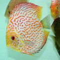 "6""-6.5"" Giant Red Map Tiger Checkerboard Pigeon Discus"