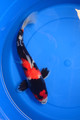 "14"" Showa (Dainichi Koi Farm)"