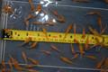 "Koi Babies 40 Pack of 1"" Inch Koi Fry From Kohaku Spawn (FREE SHIPPING!)"