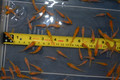 "Koi Babies 10 Pack of 1"" Fry From Kohaku Spawn"