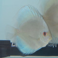 "3""-3.5"" Piwowarski Blue Diamond Discus"