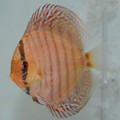 "3.5""-4"" Piwowarski Red Spotted Green Tefe Discus"