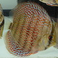 """4"""" Piwowarski Red Spotted Green Tefe Discus"""