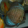 "4.5"" Piwowarski Red Spotted Green Discus"
