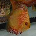 """2.5""""-3"""" Pigeon Snakeskin Discus (from show quality line)"""
