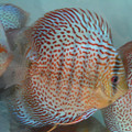 "5""-5.5"" Fire Ruby Leopard Discus (Goh Eng Khoon bloodline)"