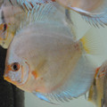"4"" Piwowarski Blue Diamond Discus"