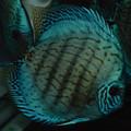 "6"" Piwowarski Cobalt Discus (aka Giant Blue)"