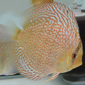 "5"" Piwowarski Red Spotted Green Tefe  Discus"