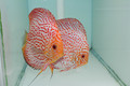 XL Red Pigeon Discus Possible Pair