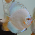 "4.5""-5"" Piwowarski Blue  Diamond Discus"