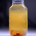 Sample photo of established Vinegar Eel culture. For sale here is a 30ml baggie of starter culture.