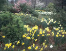 Daffodils in the Landscape on CD