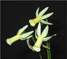 Miniature Daffodil Cultivars Reference Collection CD