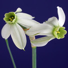 Examining Exhibition Daffodils - Let's Take a Closer Look!  on CD