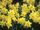 More Than You Ever Wanted to Know About Daffodils on CD