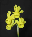 Miniature Daffodils Presentation on CD