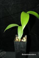 Ceratozamia latifolia
