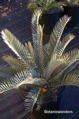 Encephalartos lehmannii 03