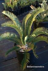 "Encephalartos longifolius ""Joubertina Blue"""