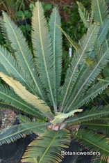 Dioon merolae 01 1