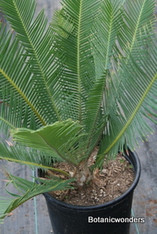Dioon edule 5g 1