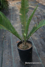 Dioon edule 1g
