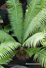 Dioon spinulosum 5g 2