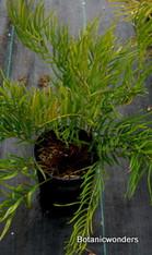 Zamia integrifolia 01g