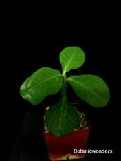 Monadenium magnificum