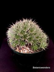"""Abromeitiella brevifolia 6"""" Pot"""