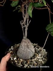"Petopentia natalensis, 8"" pot"
