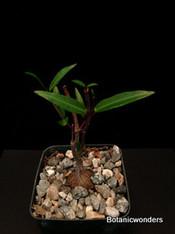 Petopentia natalensis pet001