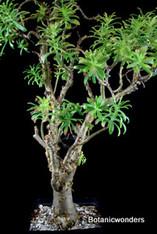 Sedum frutescens