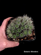 "Abromeitiella brevifolia 4"" pot, Very cool mounding plant!"