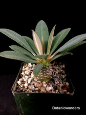 """Euphorbia pachypodioides, 3.5"""" pot, Nice healthy seedlings!"""