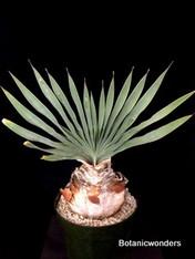 "Boophane disticha, 8"" pot,  Giant bulb!  4-4.5"" diameter bulb!"