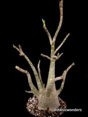 """Adenium arabicum 8"""" pot, nice fat plant!"""