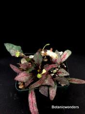 "Euphorbia francoisii , 2.5"" pot,"
