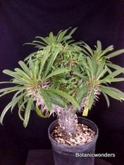 Pachypodium lamerei crest 1 gal pot, cresting in middle, super big!!