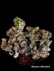 """Euphorbia lactea cristata variegata, 8"""" pot,""""Super Specimen!"""" Great pink accent!"""