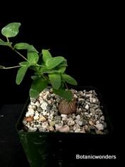 """Dioscorea hemicrypta, 3"""" pot"""