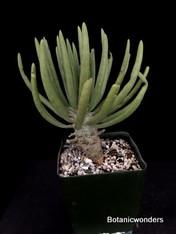 Tylecodon wallichii, 3.5 pot