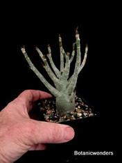 """Adenium somalense, 3.5"""" pot"""