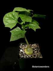 """Gerrardanthus macrorhizus, 3.5"""" pot, 1"""" + caudex"""