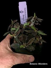 "Euphorbia decaryi var decaryi, 3.5"" pot, Extra large plants!"