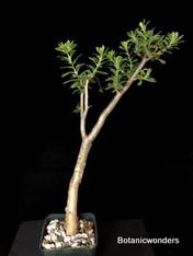 """Sedum oxypelatum, 3.5"""" pot"""