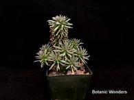 "Euphorbia Hummel hybrid, 'Twinkle Twirl', 2"" pot"