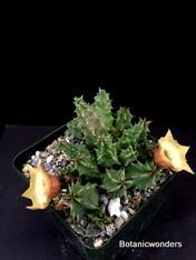 "Huernia thuretii var. primulina 3.5"" pot, nice species."