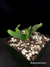 "Euphorbia stellata, 3.5"" pot, nice seedlings"